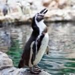 Humboldt Penguin on the stone coast — Stock Photo #9176131