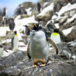 Crowded colony of Penguins on the stone coast - Stock Photo