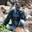 A large male silver of back gorilla sitting - Stock Photo