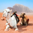 Camels take a rest in Wadi Rum red desert — Stock Photo #9176397
