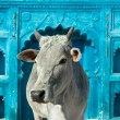 Indian holy cow — Stock Photo