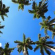 Caribbean fan palms against the sky useful for background — Stock Photo