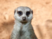 Meerkat on guard, portrait — Stock Photo