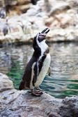 Humboldt Penguin on the stone coast — Stock Photo