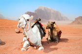 Camels take a rest in Wadi Rum red desert — Stock Photo