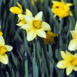 Daffodil — Stock Photo #10163020