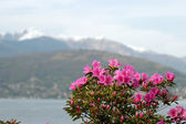 Azalea Flowers against the alps and Maggiore lake in Italy — Stock Photo