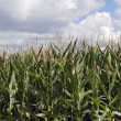 Corn crop — Stock Photo #10590012
