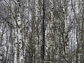 Birch forest — Foto de Stock