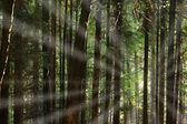 Coniferous forest — Стоковое фото