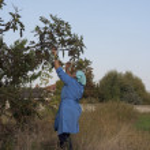 Senior woman picking fig fruits — Stock Photo #8043795