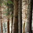 Pine trunks — Stockfoto #8044281