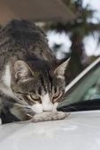 Evropská kočka s dračici — Stock fotografie