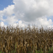 Corn crop on a cloudy day — Stock Photo
