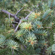 Fir tree branch — Stock Photo #8059040