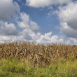 Corn crop ready for harvest — Stock Photo #8059185