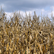 Corn crop — Stock Photo #8059263