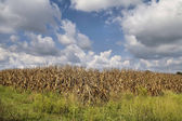 Corn crop ready for harvest — Stock Photo