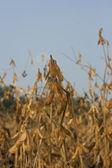 Soybean field — Stock Photo