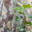 Sycamore bark and sprout — Stock Photo