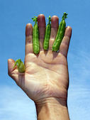 Hand with peas — Stock Photo