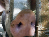 Pig behind bars — Stock Photo