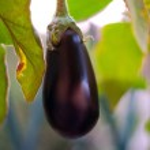 Eggplant — Stock Photo #8085180
