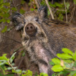 Wild boar — Stock Photo #8087530