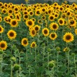 Field full of sunflowers — Stock Photo