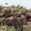 Pine cones — Stock Photo #8129902