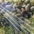 Stock Photo: Light on pine cones