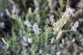 Bee on lavander flowers — Stock Photo