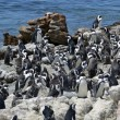 Penguins on the coast — Stock Photo