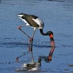 Big african stork — Stock Photo #8302950
