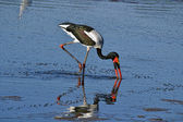 Big african stork — Stock Photo