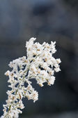 Frost azalea — Stock Photo