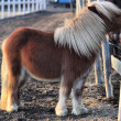 Stock Photo: Shetland Pony