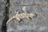Gekko gecko — Stock Photo
