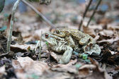 Toads in Love — Stock Photo