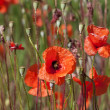 Field of Poppy Flowers — Stock Photo