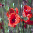 Papaver — Stock Photo
