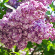 Stock Photo: Bush of Lilac