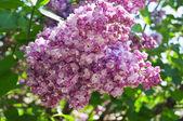 Bush av lila — Stockfoto