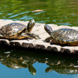 Two turtles — Stock Photo