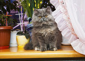 Cat Persian — Stock Photo