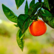 Orange tree branch with one orange — Stok fotoğraf