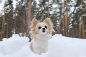 Dog breed chihuahua sitting in the snow — Stock Photo