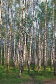 The path in the birch grove — Stock Photo