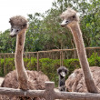 3 Ostriches — Stock Photo