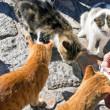 Five greek street cats eat — Stock Photo #8840400